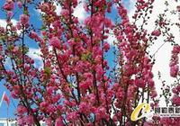 新疆布爾津縣榆葉梅花朵朵開
