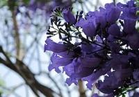 普洱時光|相遇在普洱藍楹花開的季節
