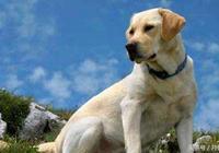 如何辨認拉布拉多犬 拉布拉多都有那些品種