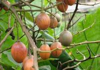 """一種長在""""樹上的番茄""""品種,種一棵可以吃幾年,有多少人吃過呢"""