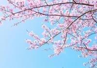 春暖時節,背上行囊,在櫻花樹下相遇那個有可能的他/她