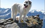 大白熊犬:帝王之相,卻只想做一個安靜的美男子