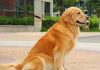日本最大的狐狸犬種!被譽為國犬,但在中國很多城市竟是禁養犬