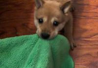 女孩在網上買到只柴犬,過兩天她看到小傢伙的模樣哭得心都有了