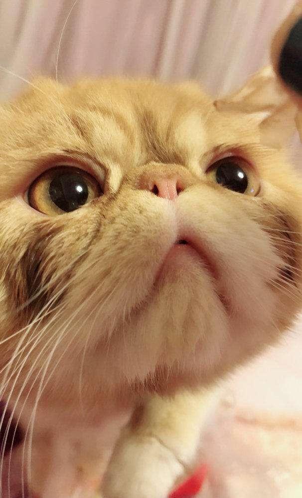 「加菲貓」到底是什麼貓?