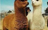羊駝,歷史起源(一)