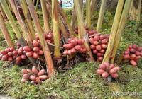 草果藥用價值高,種植效益好,怎麼種植能高產?
