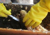 土蜂蜜真的比養蜂蜜好嗎?