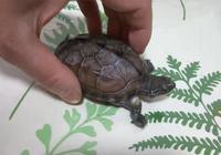 烏龜得了腐皮?你要知道的(視頻)