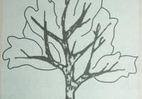 砂糖橘樹幼樹整形樹形選擇