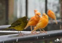 芙蓉鳥(玉鳥、金絲雀)疾病的防治