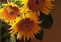 《向日葵》名氣很大,中國老奶奶挑戰梵高,向日葵比梵高美10倍!