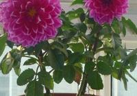 家裡養盆大麗花,花期長花苞大,這1盆頂10盆,別的花不用養了