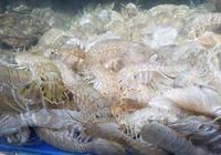 大美天津,皮皮蝦還是天津的好