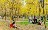 風光攝影:黃翻了!尤溪洲邊黃花風鈴木驚豔綻放,花期正盛