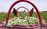 """點""""草""""成金!農民收割艾草就是在收割致富的希望"""