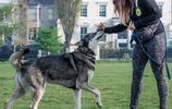 長得最像狼的狗子,除了哈士奇,就是這傢伙了!