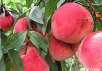 現在的桃子,為什麼核還沒硬就已經成熟了?