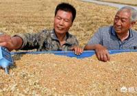 農村有些農民,小麥收割後直接在地裡就賣掉了,這是為什麼?是不是更划算呢?