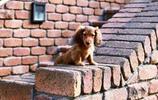 動物圖集:短腿獵犬臘腸狗