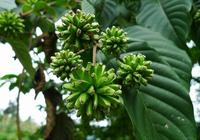 喜樹是什麼植物,適合在河南種植嗎?