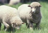 在小麥地裡放羊被藥死,你怎麼看呢?