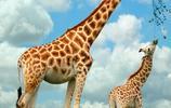 動物圖集:長頸鹿