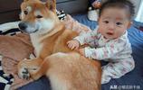 狗狗和寶寶一起養原來這麼美好!看看日本網紅柴犬帶孩子的日常