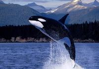 虎鯨打得過虎鯊嗎?