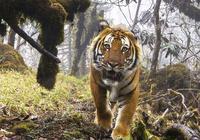 西藏境內僅存的老虎種群:高山孟加拉虎,數量太少很有可能滅絕