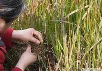 農村的茅草根有什麼作用,現在價格如何?