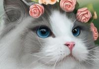 """""""貓界仙女""""布偶貓竟然也有缺點,看完你還想養嗎?"""