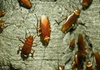 許多人不知道蟑螂怕什麼,只要一顆洋蔥,蟑螂再也不敢進家門