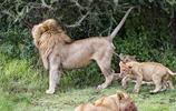 小獅子被親爹尿了一臉