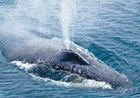 鯨魚為什麼會噴水?