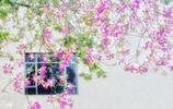 春看紅木棉,秋開異木棉