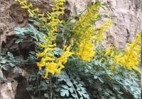 """巖黃連,一種生長在岩石縫隙中的珍貴""""黃連"""""""
