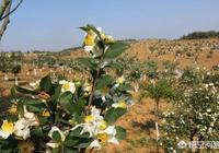農村山地徵用需要移栽油茶樹,要怎樣才能提高油茶樹移栽的成活率?