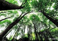 楠木的優缺點?楠木有什麼用?