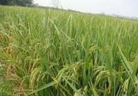 水稻害蟲有哪些?水稻害蟲用什麼藥?