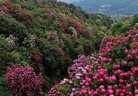百里杜鵑花又盛開
