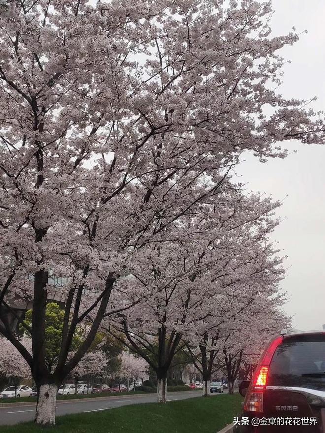 看櫻花不用去東京和武大,只要在寧波的路上走一走