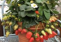 """吃草莓""""刮點皮"""",晾乾種子撒盆裡,長出草莓,能摘1籃子"""