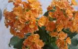 小巧玲瓏的長壽花,長壽花的花語您知道嗎?