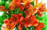 花卉圖集:小蒼蘭