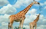 風景圖集:可愛的長頸鹿