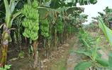 鏡頭下:農村特色的矮株香蕉樹,碩果累累