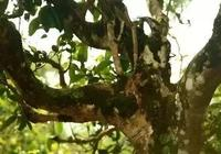 茶王樹之死,誰來關注古茶樹