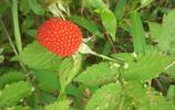 漫山遍野的野草莓,純天然、無公害