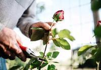 用剪下來的月季枝條扦插繁殖,不用兩三年就能重新開花